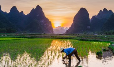 rice-cultivation-4165415